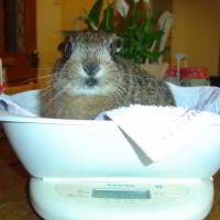 Orphaned leveret being weighed. Picture credit Susan Sroka