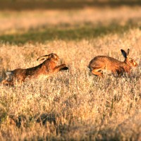 two hares running