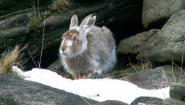 Mountain Hare. Picture credit Highpeakbob
