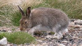 Mountain Hare. Picture credit Andrew Easton