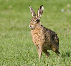 Brown Hare photo by Damian Waters