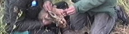 Live hare being cut from snare.